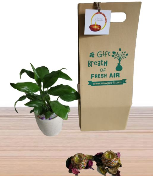 peace lily gift pack